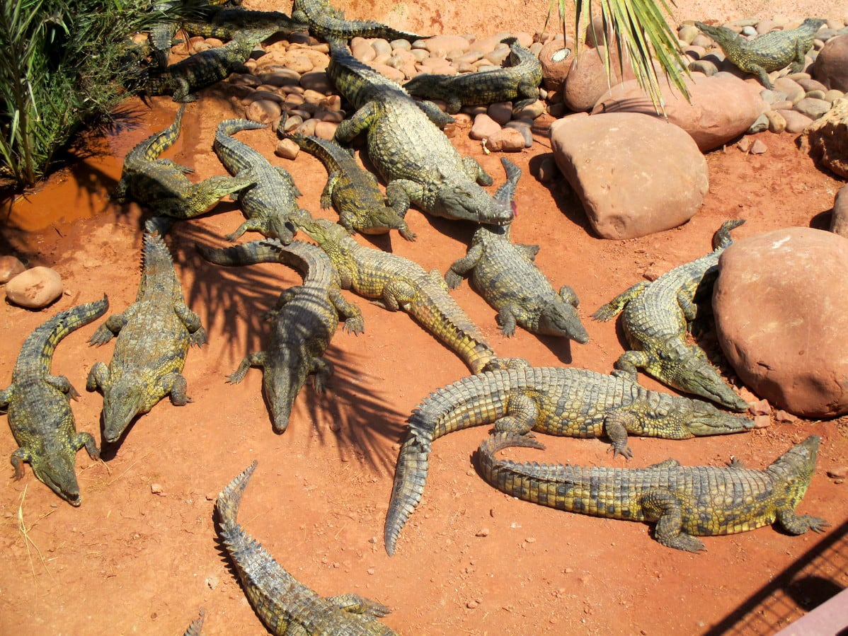 Fichier:Crocoparc-Agadir-crocodiles-min.JPG — Wikipédia