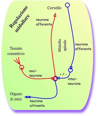Regolazione spinale del dolore