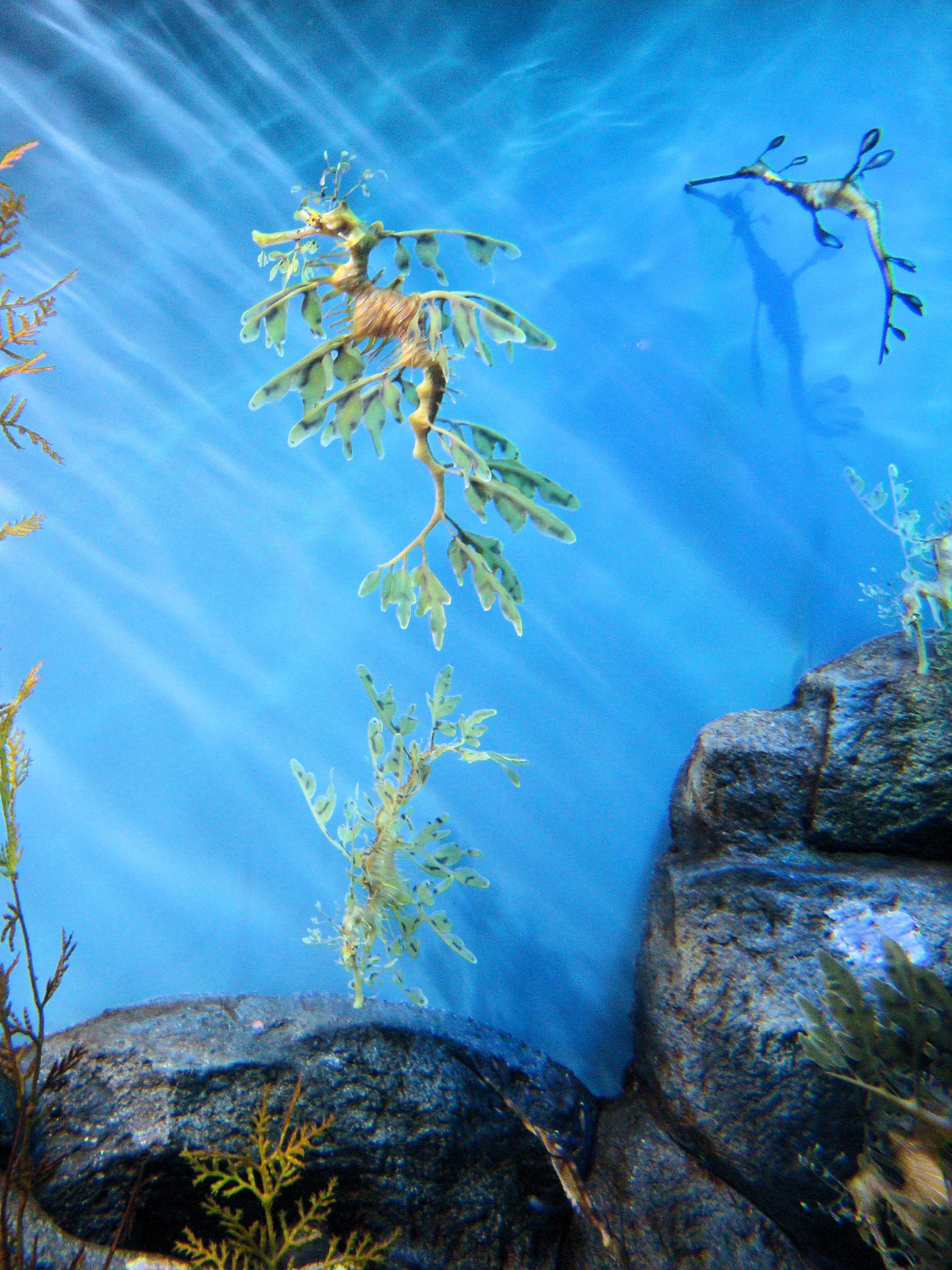 file dsc28167 leafy sea monterey bay aquarium monterey