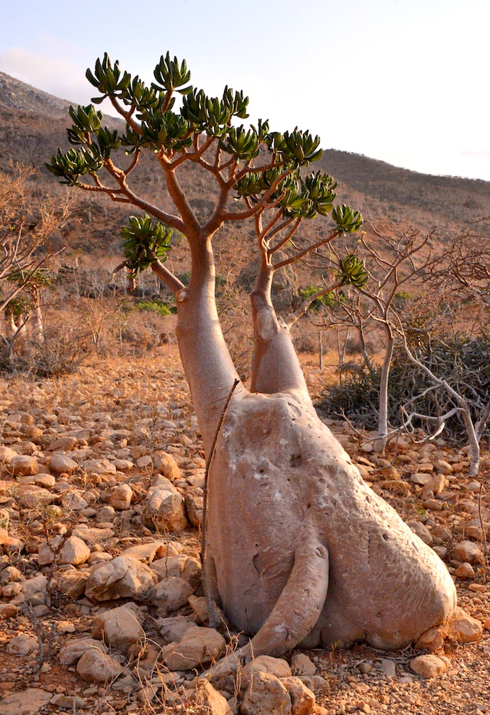 By Rod Waddington from Kergunyah, Australia (Desert Rose Bottle Tree, Socotra Island) [CC-BY-SA-2.0 (http://creativecommons.org/licenses/by-sa/2.0)], via Wikimedia Commons