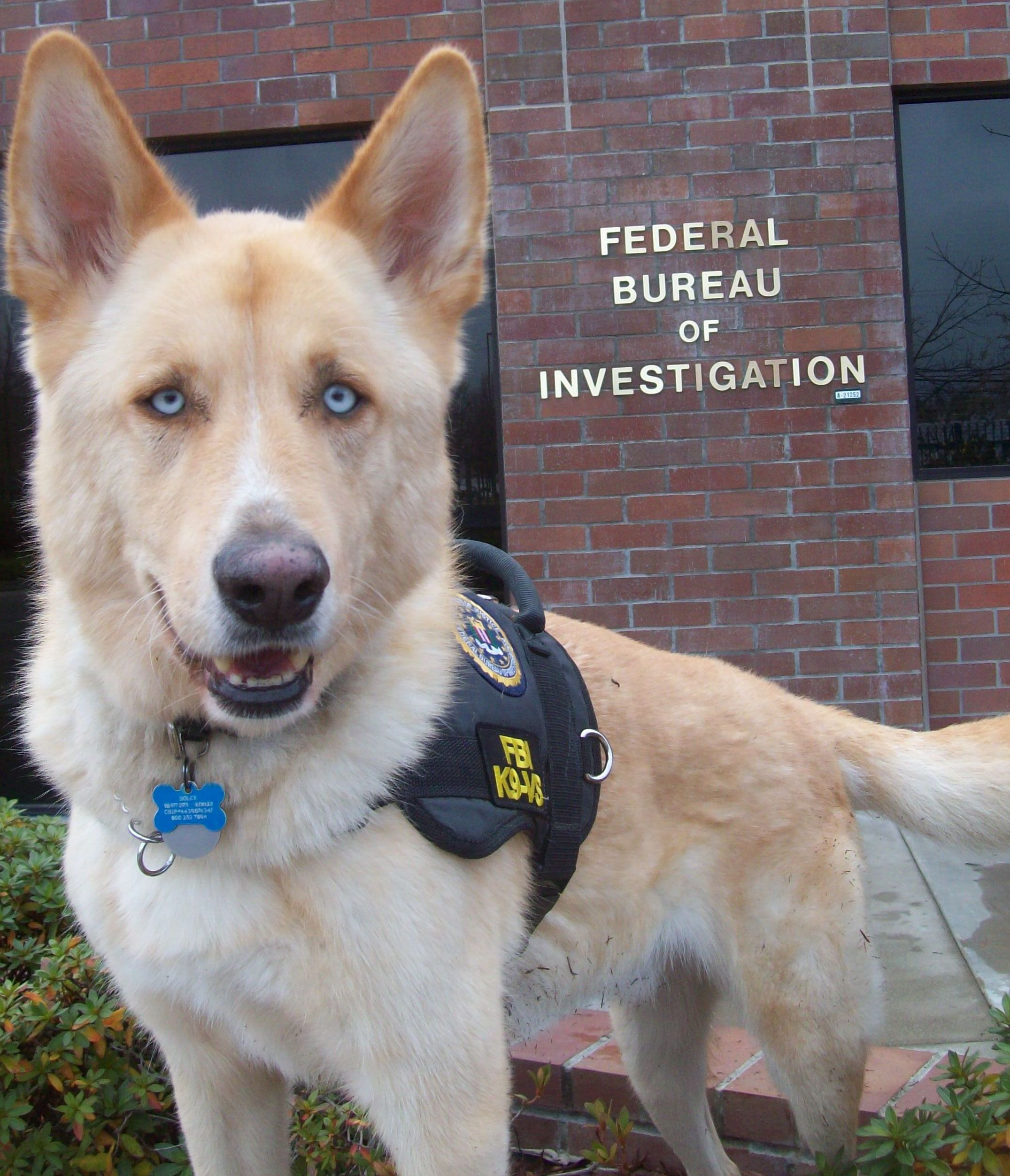 FBI K9 in his vest