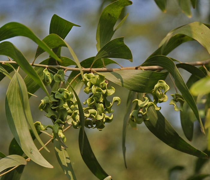 Fileearpod Wattle Acacia Auriculiformis Leaves Green Fruit Pods