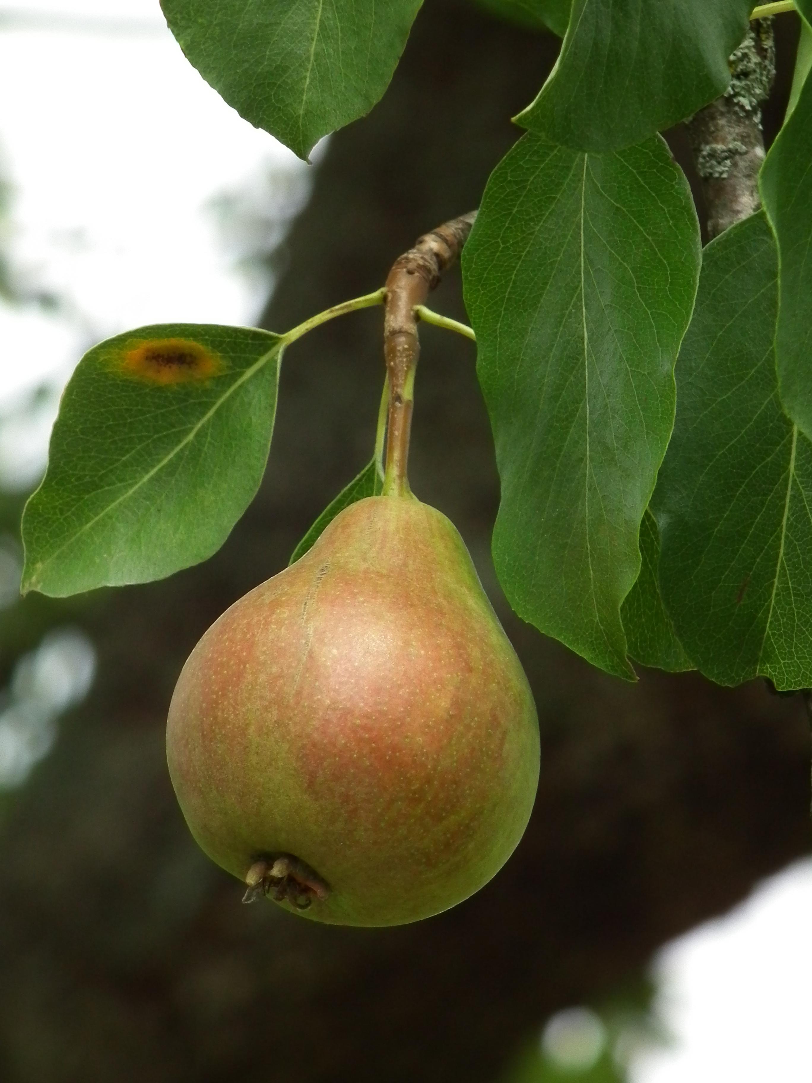 File:Einzelne Birne an Baum.JPG - Wikimedia Commons