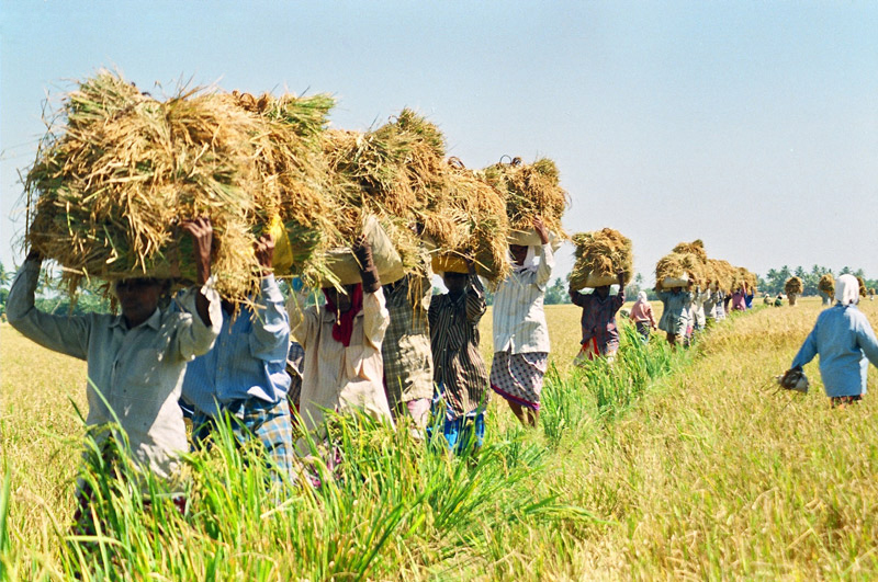 Farmers taking the harvest out of the field. Photo credit: Achuthan KV/Wikimedia Commons [Licensed under CC BY 4.0]