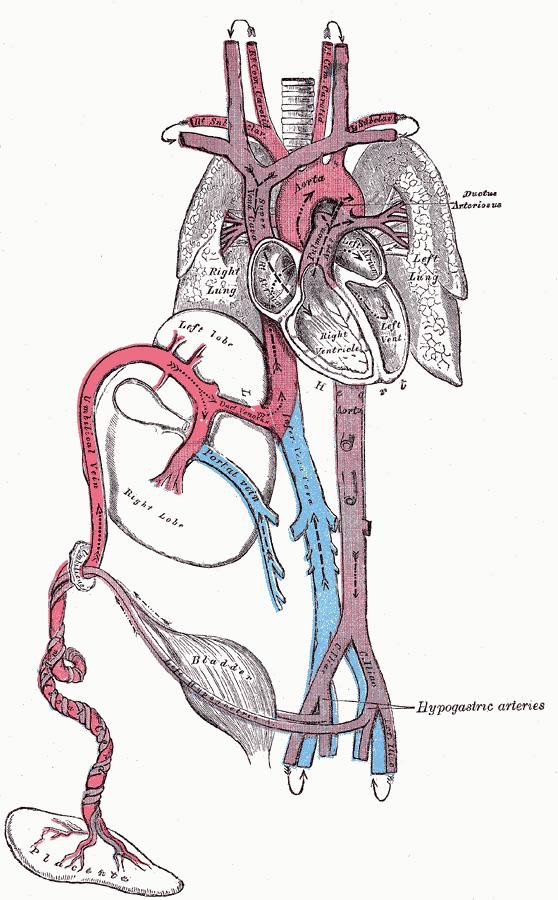 Foetale bloedsomloop - Wikipedia