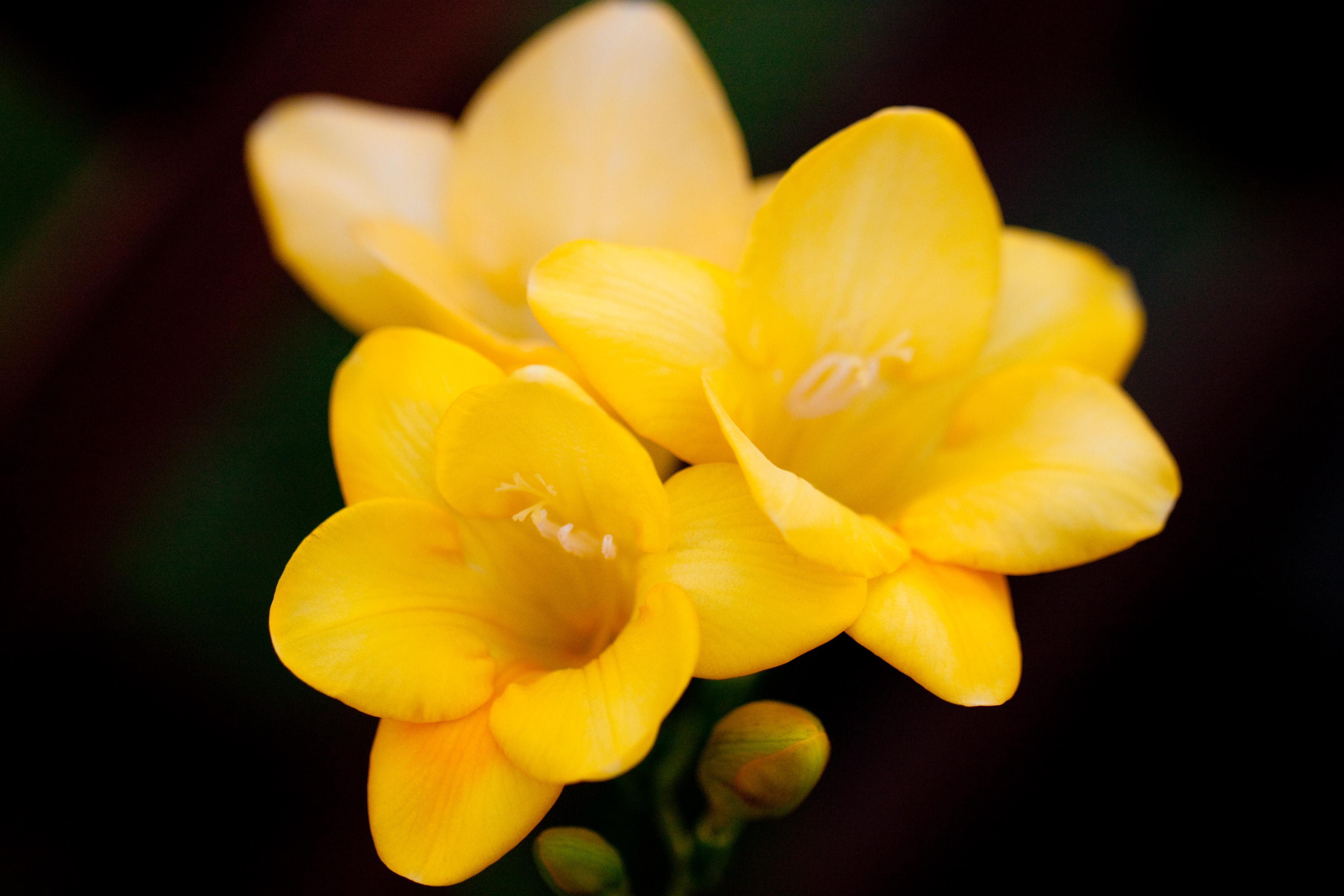 Fileflower Freesia Flickr Nekonomaniag Wikimedia Commons