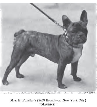 File:French Bulldog circa 1901.jpg