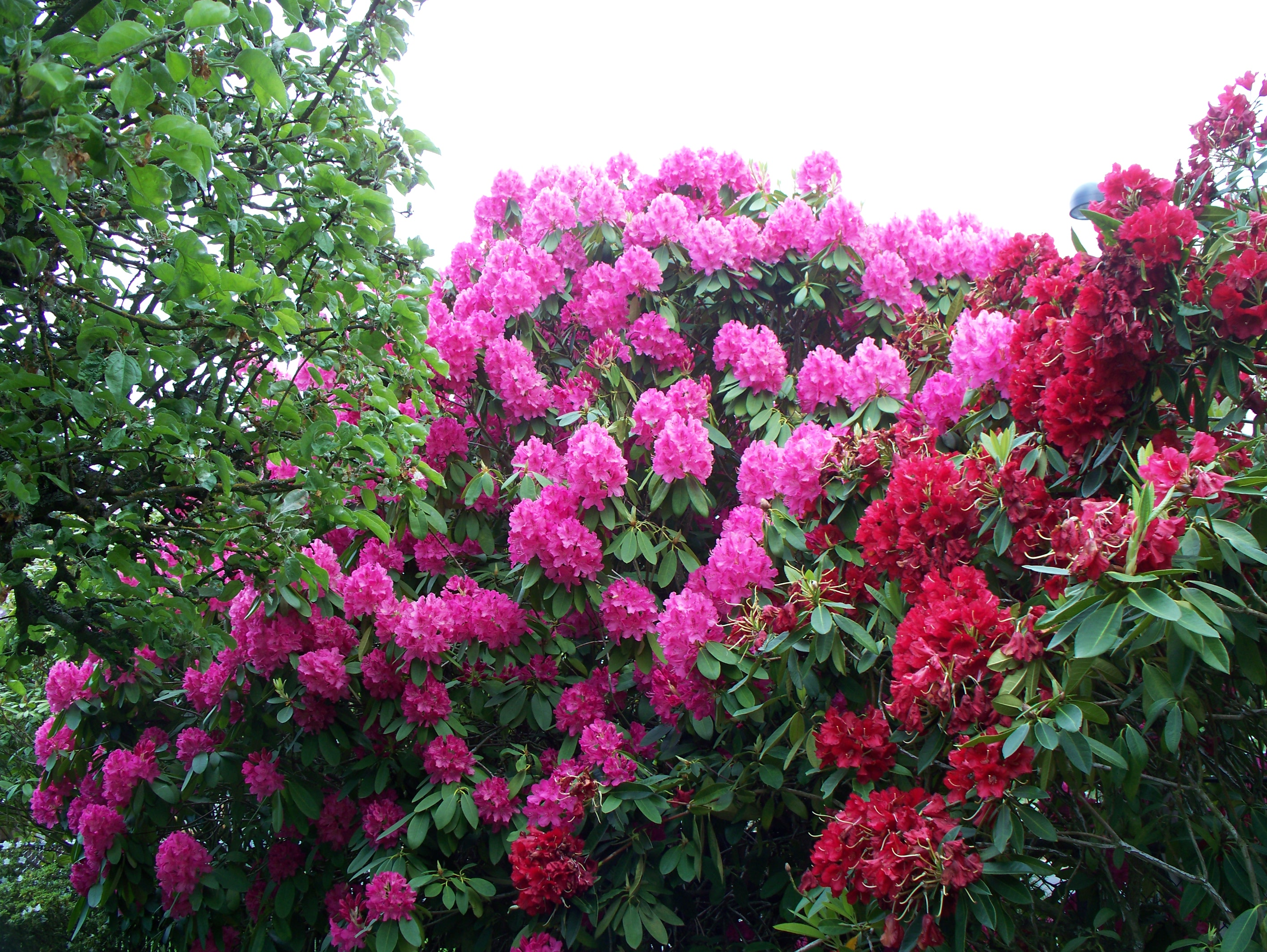 List of Lepidoptera that feed on rhododendrons