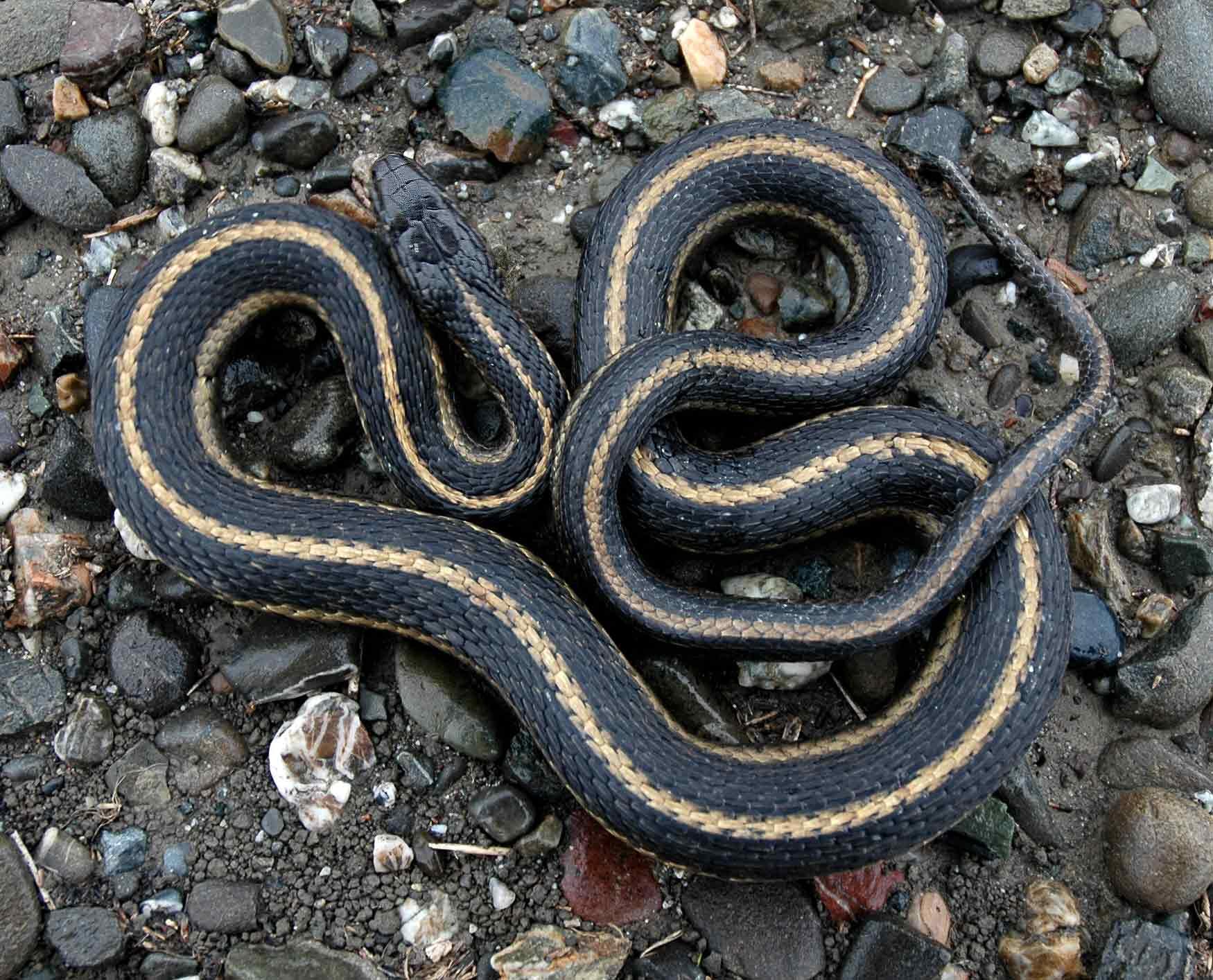 Giant garter snake , Wikipedia