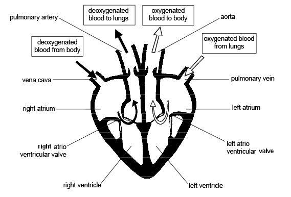 Labelled diagram of a mammalian heart wiring diagram anatomy and physiology of animals cardiovascular system the heart rh en wikibooks org bird heart diagram ccuart Images