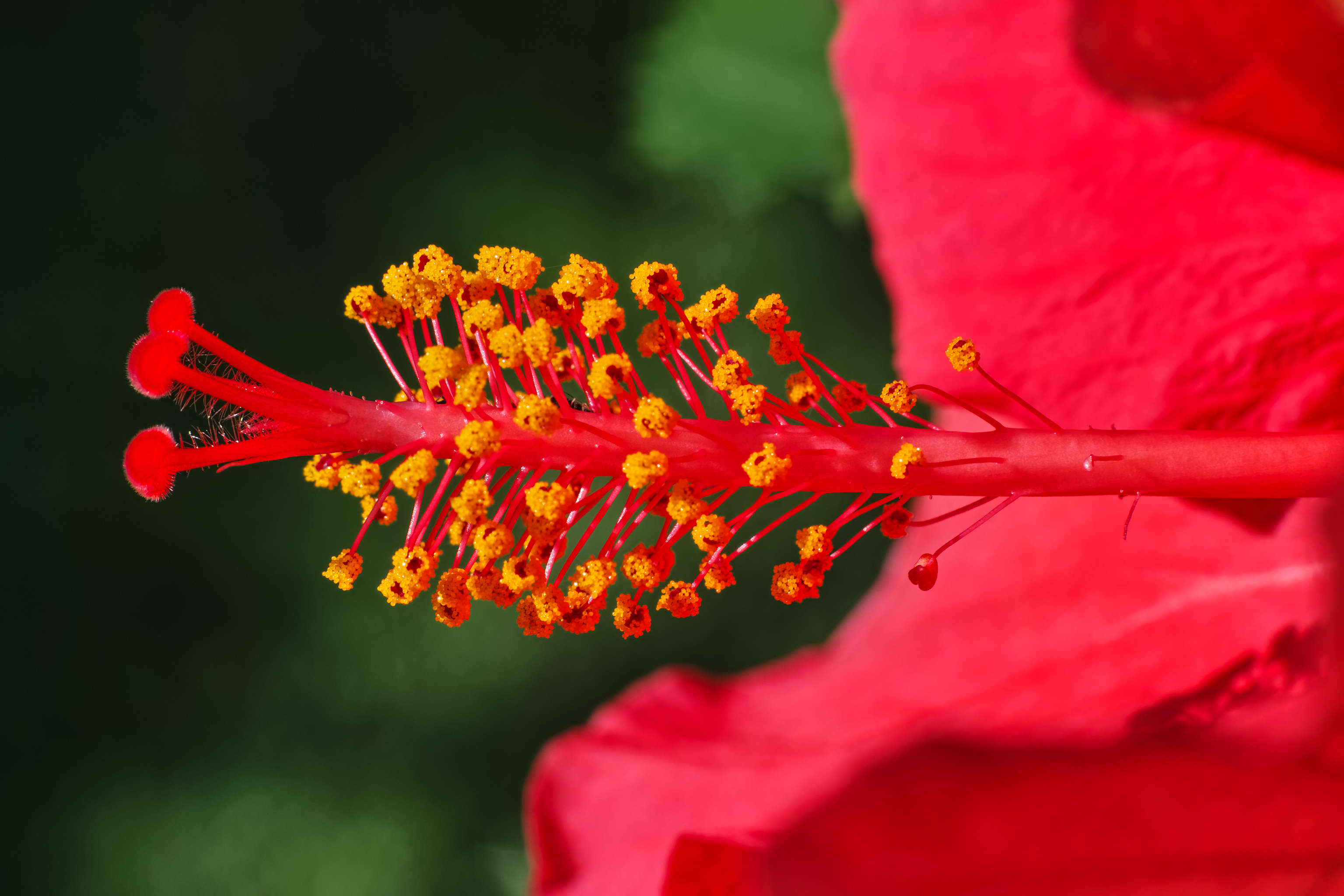 Hibiscus Rosa Sinensis Wikiwand