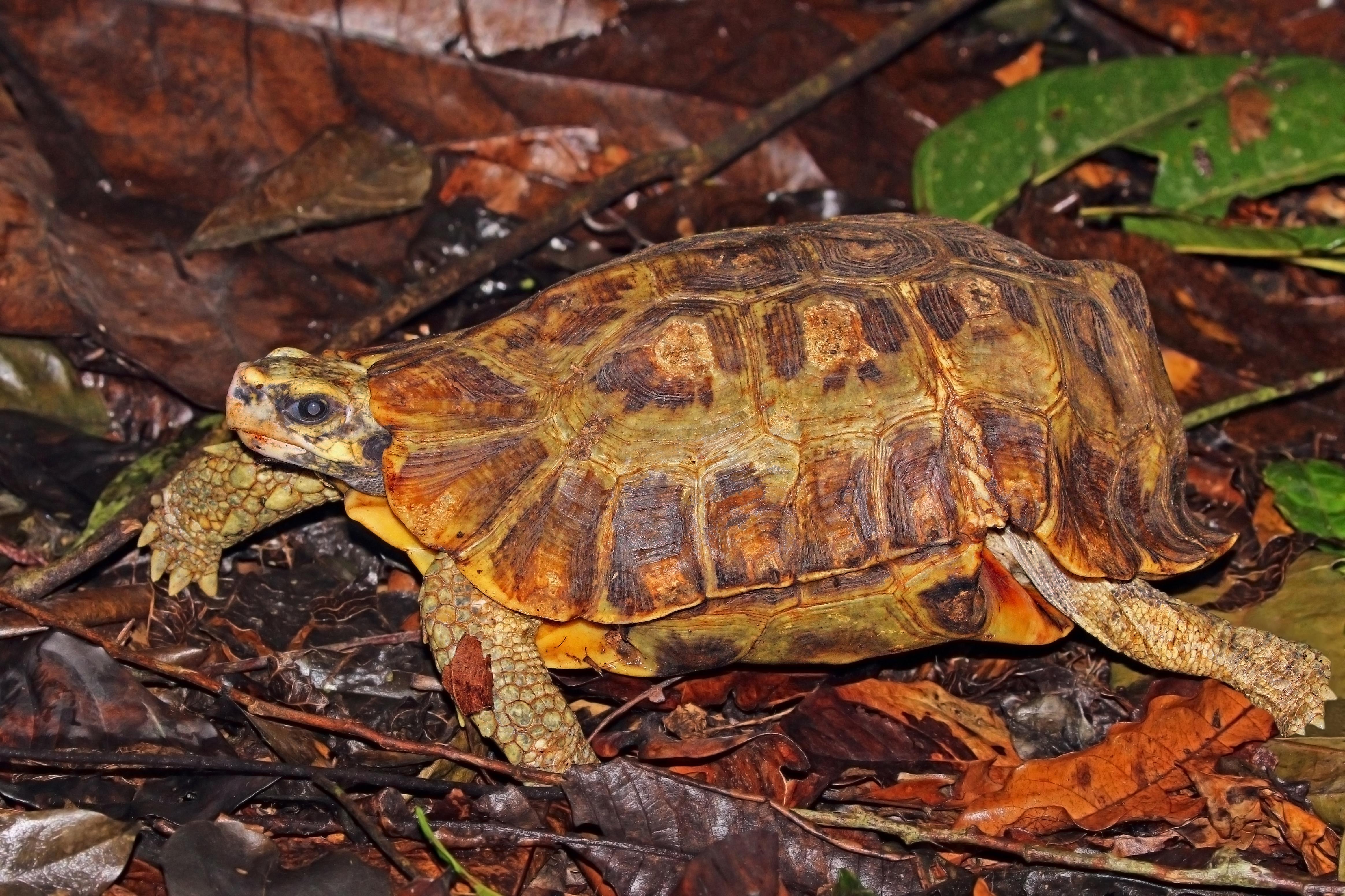 Home's hinge-back tortoise - Wikipedia