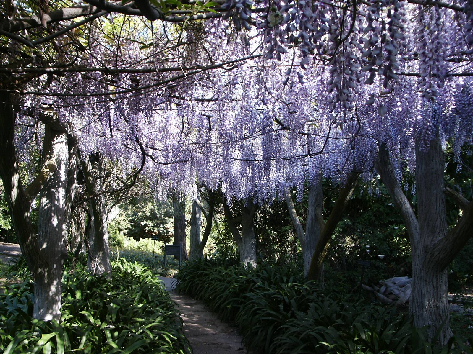 File huntington library gardens wisteria arbor for The wisteria