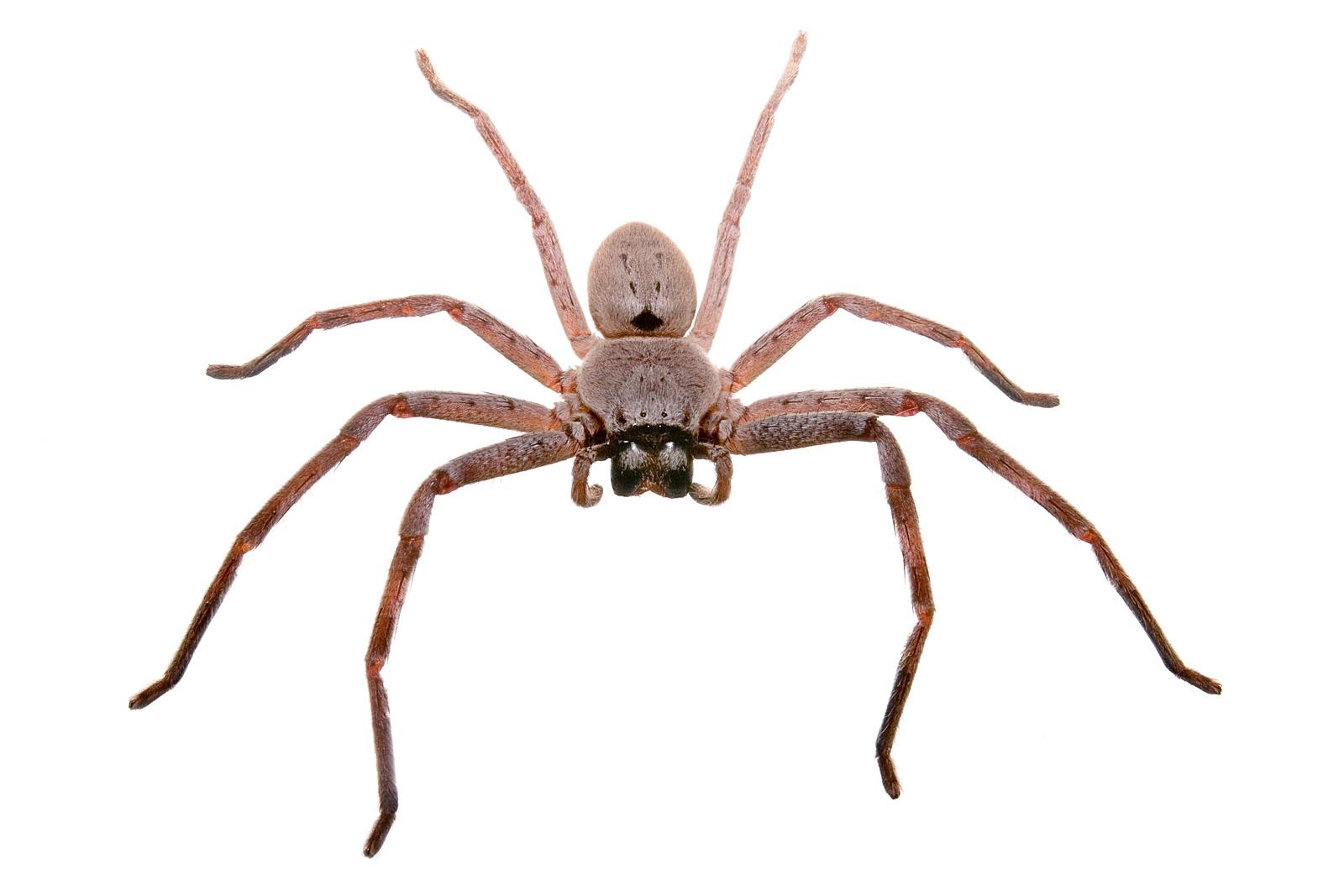 File:Huntsman spider white bg.jpg