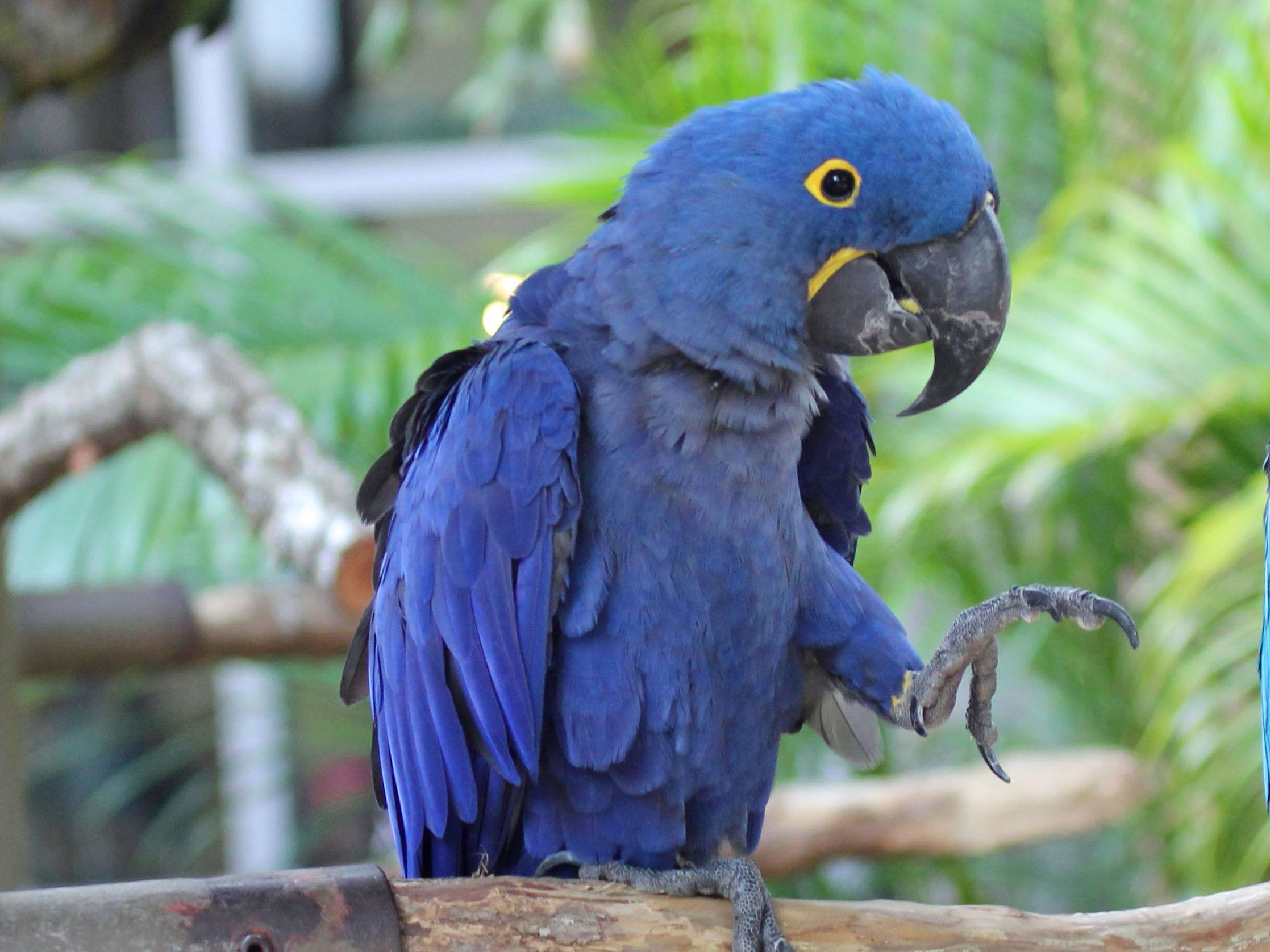 File:Hyacinth Macaw RWD2.jpg - 397.5KB