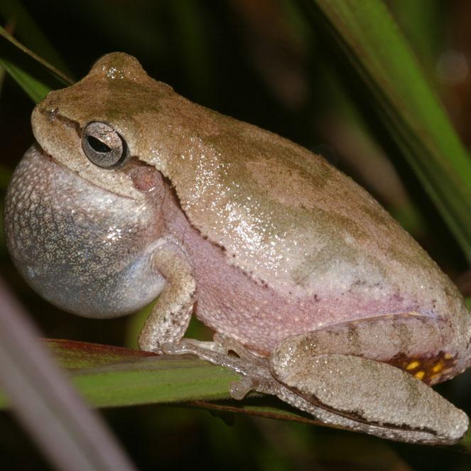 Pine Woods Tree Frog (Dryophytes femoralis)
