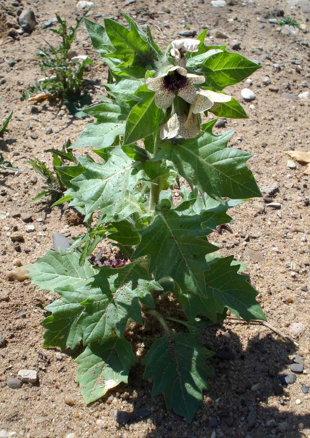 Фото цветок белена