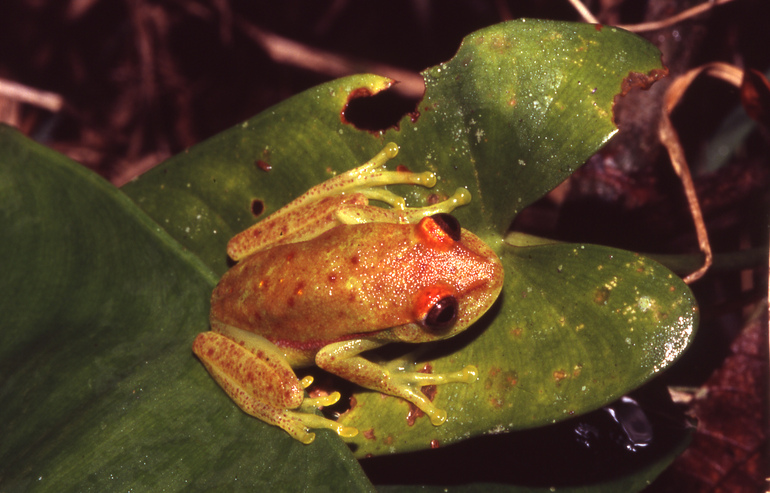 File:Hypsiboas punctatus01a.jpg