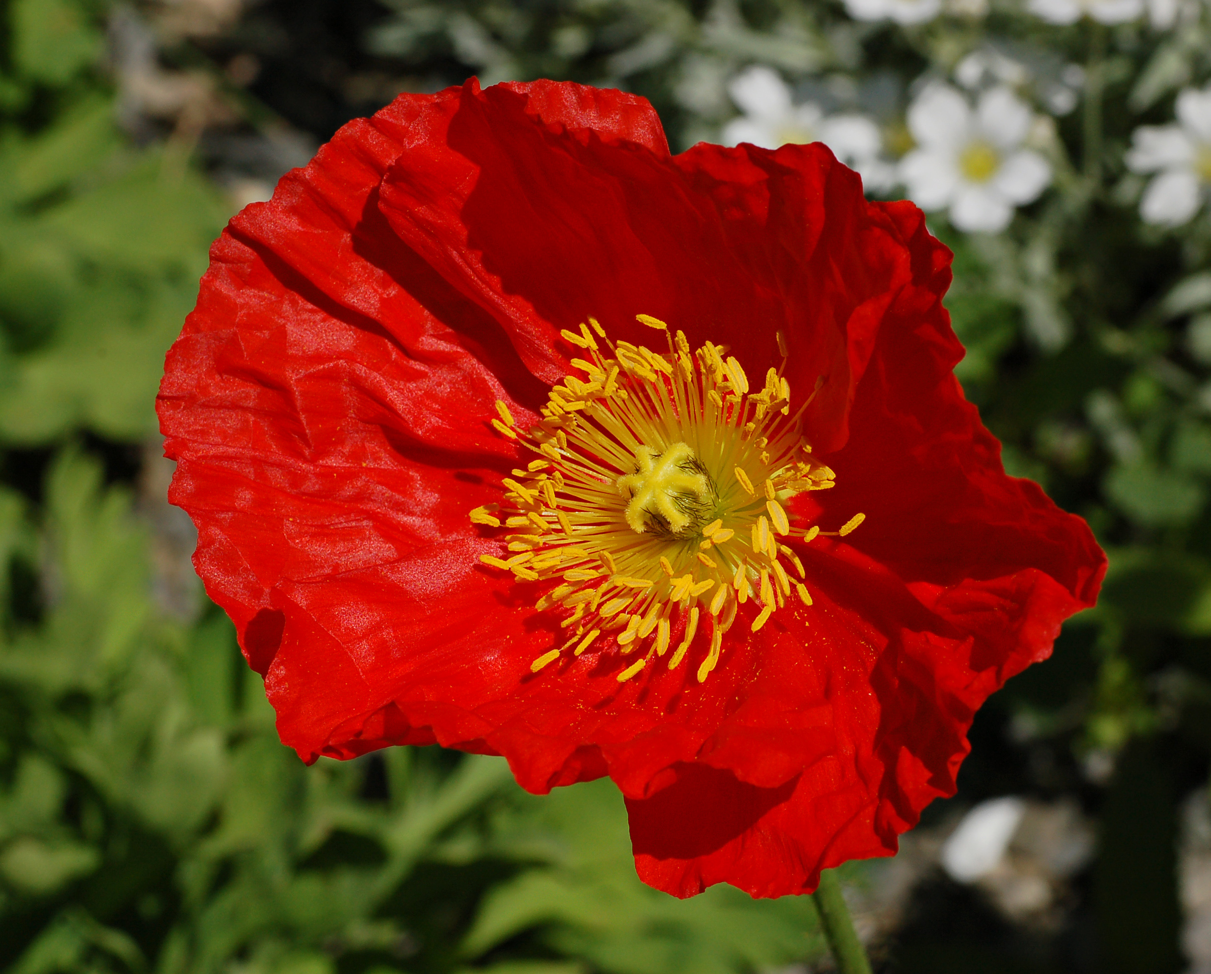 File Iceland Poppy Papaver nudicaule Champagne Bubbles Red Flower j