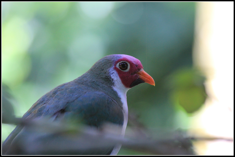 jambu fruit dove flying - photo #33