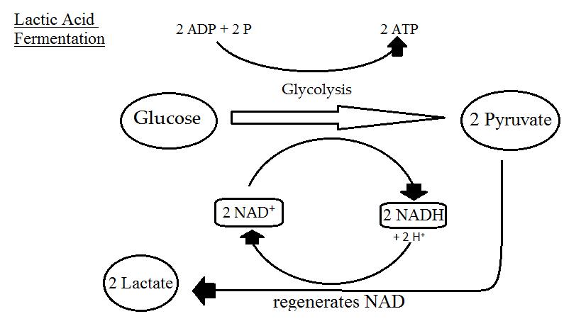 File Lactic Acid Fermentation Png Wikimedia Commons