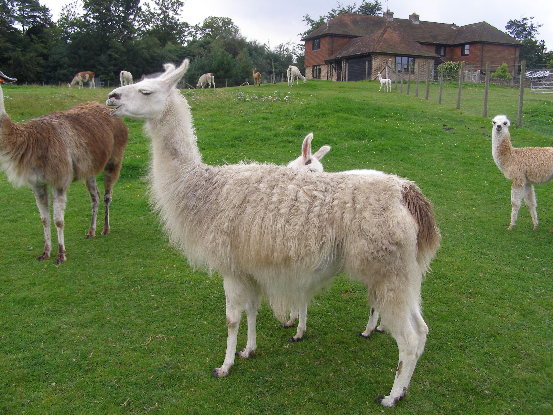 A herd of llamas on a green field