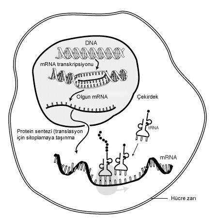 Dosya:MRNA-interaction tr.png