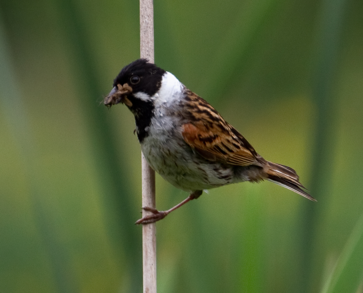 File Male Reed Bunting 3 7314671288 Jpg Wikimedia Commons