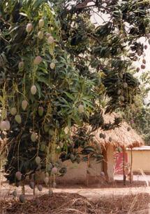 Mangobaum (Mangifera indica)