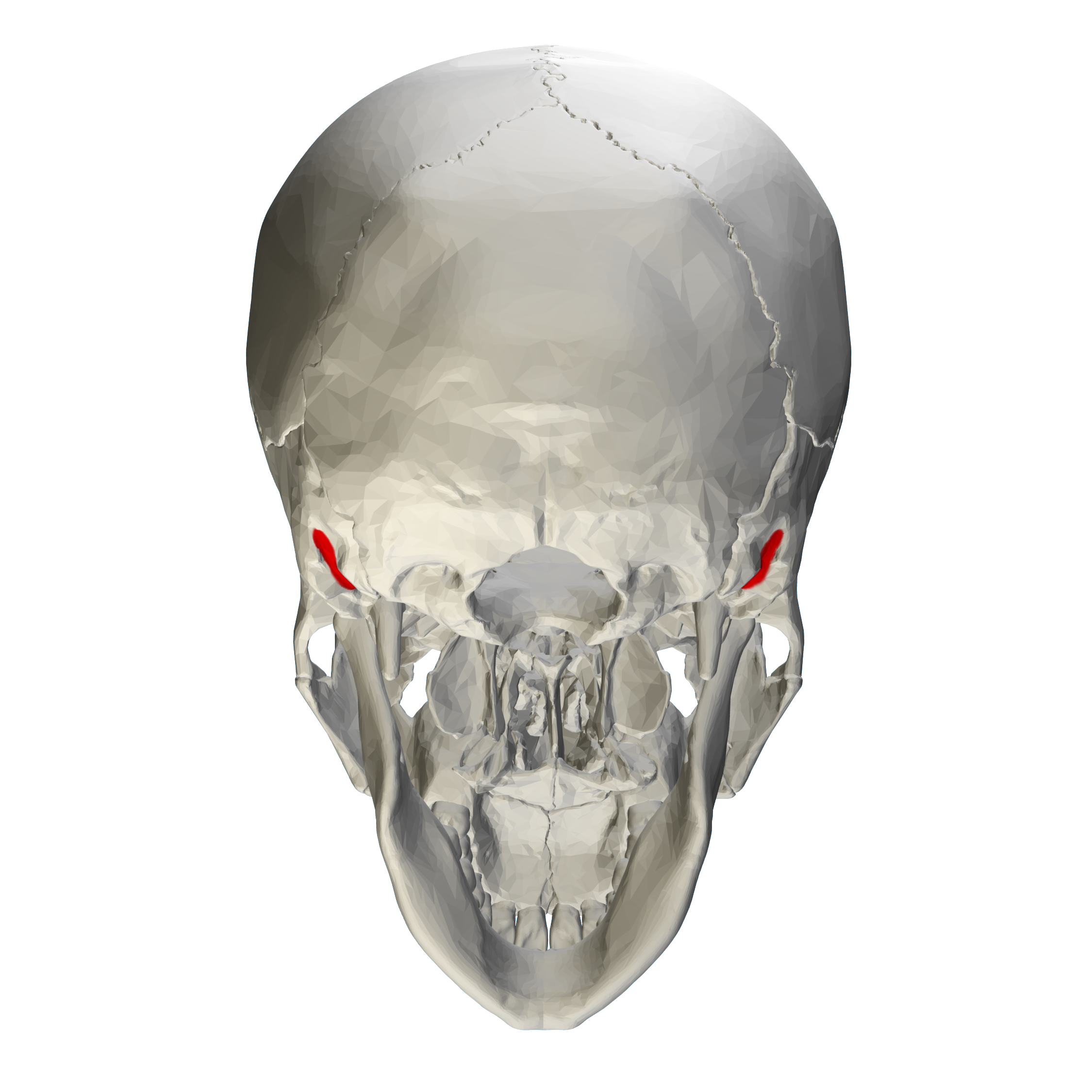 mastoid bone