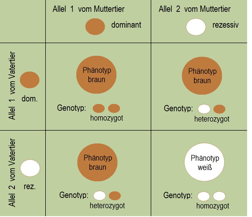 DateiMendel Spaltungsregel.png – Wikipedia
