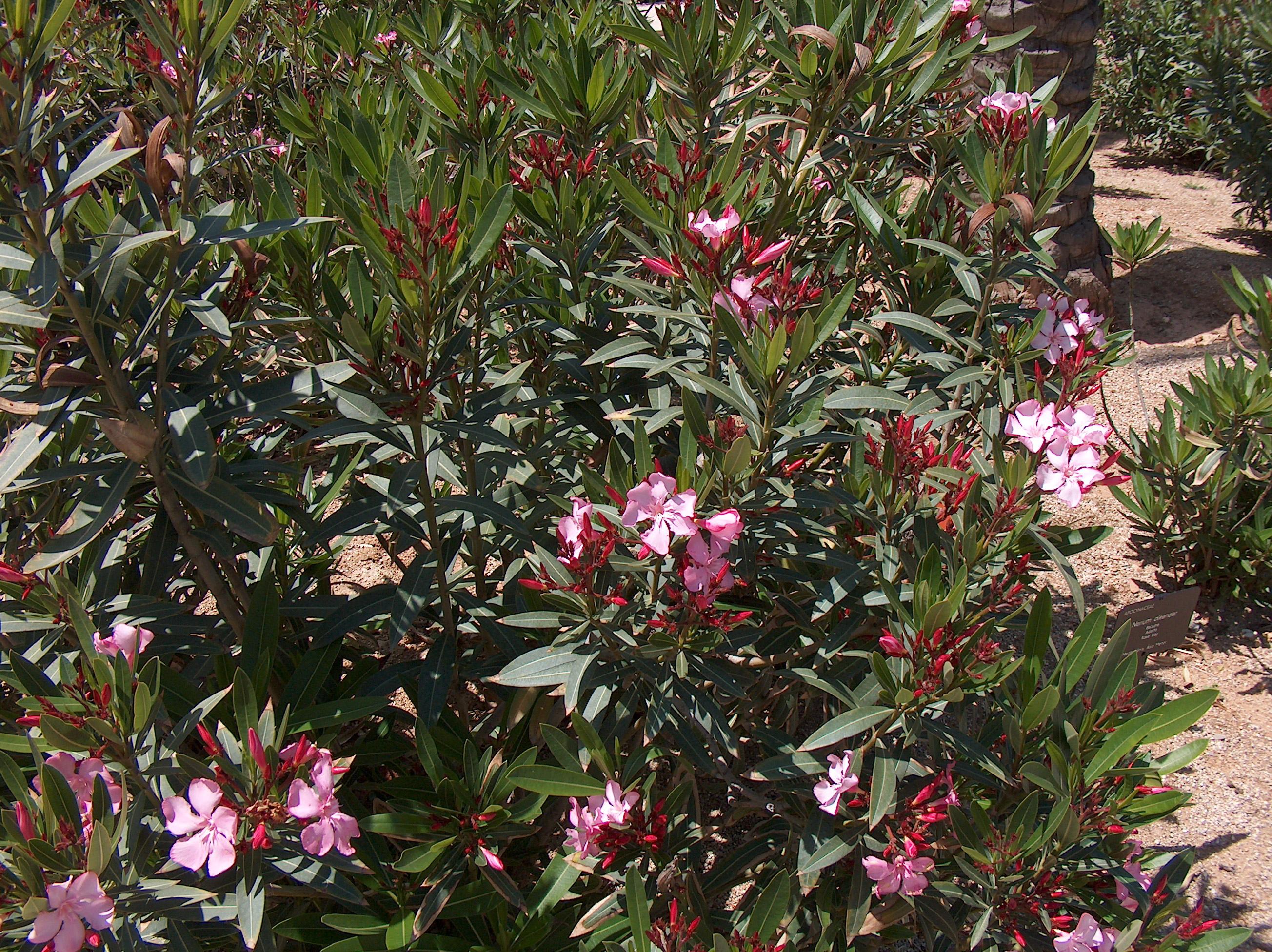 description nerium oleander maria images frompo. Black Bedroom Furniture Sets. Home Design Ideas