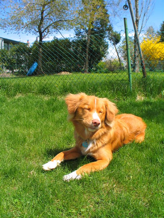 Bestand:Nova Scotia Duck Tolling Retriever grass.jpg - Wikipedia