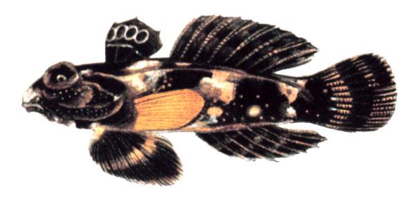 Dragonet - Wikipedia