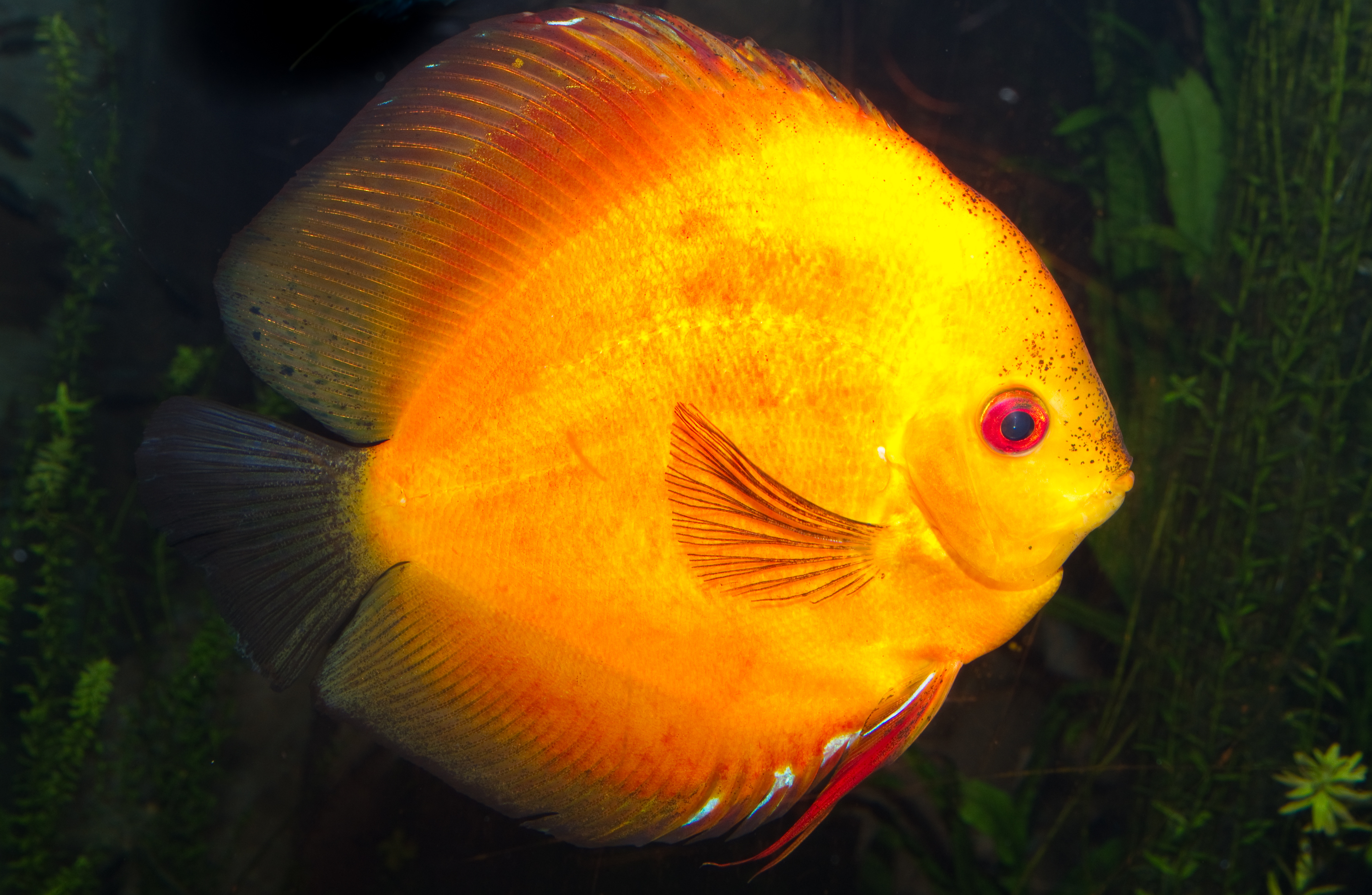 Image gallery orange yellow fish for Yellow tropical fish