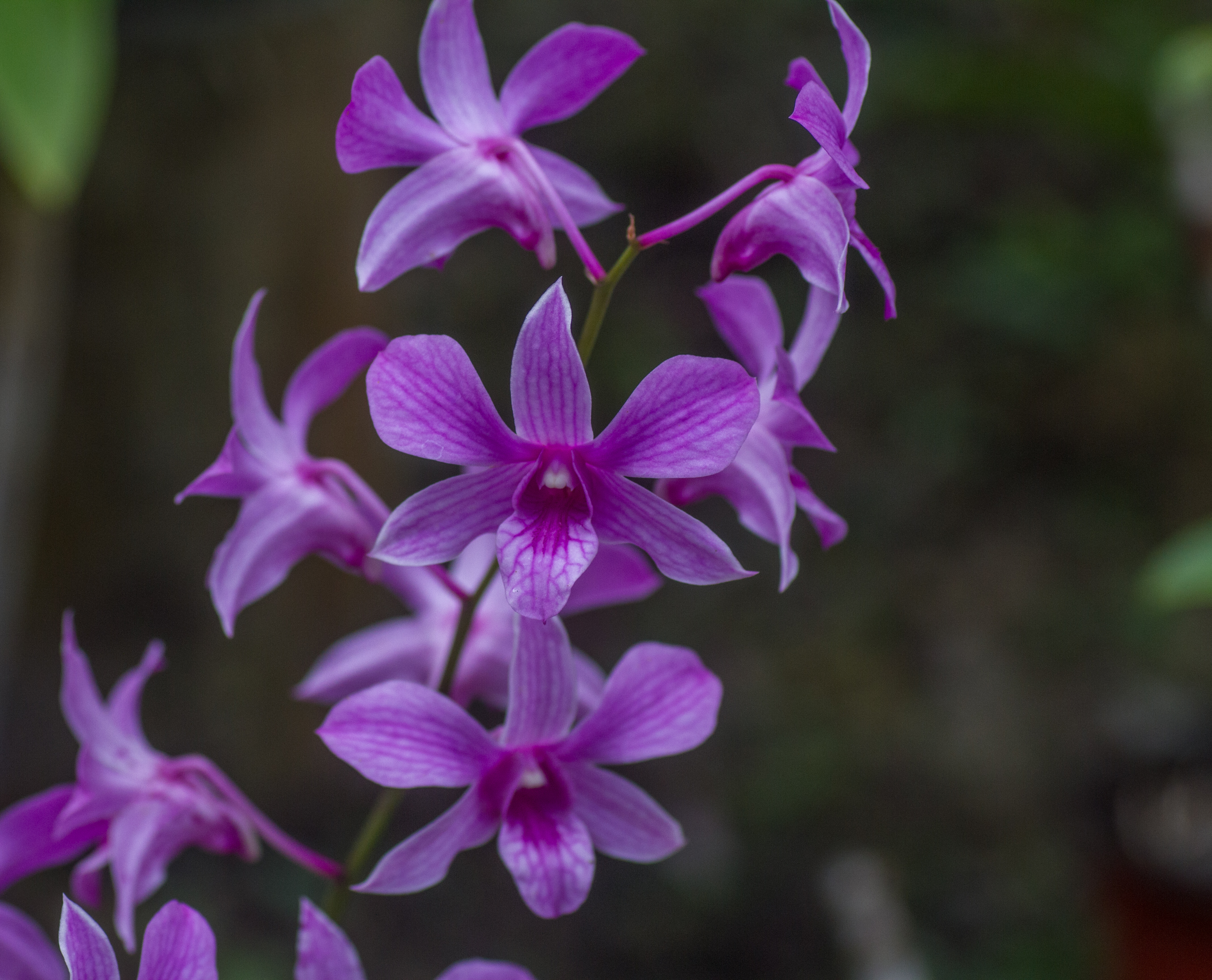 File:Orchids. Garden Of The Sleeping Giant, Fiji 02