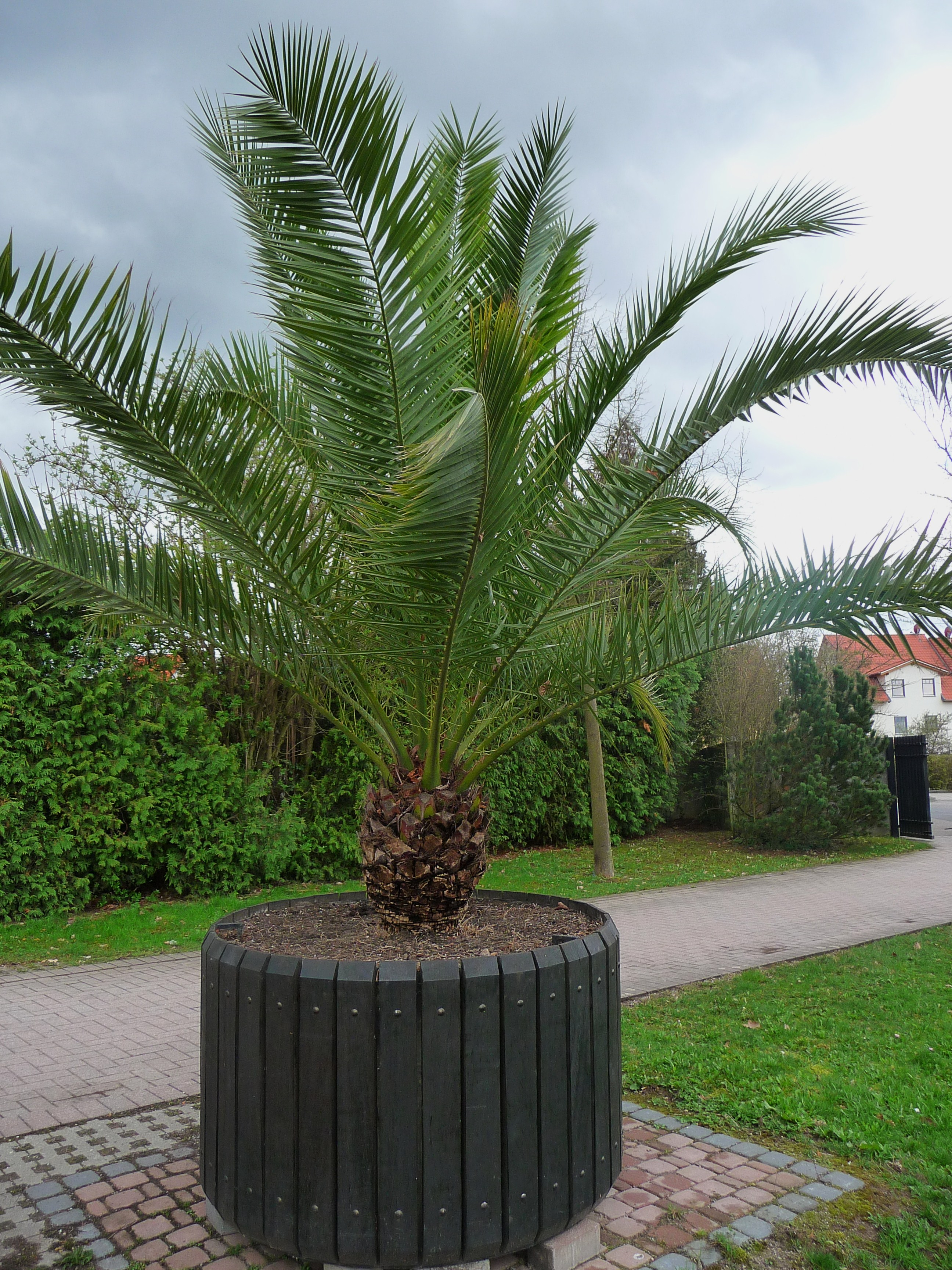 plantation palmier phoenix