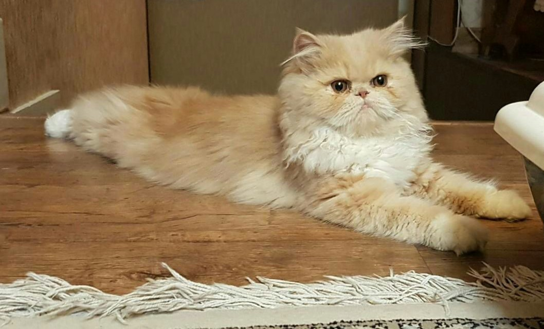Pictures Of Shaved Persian Cats