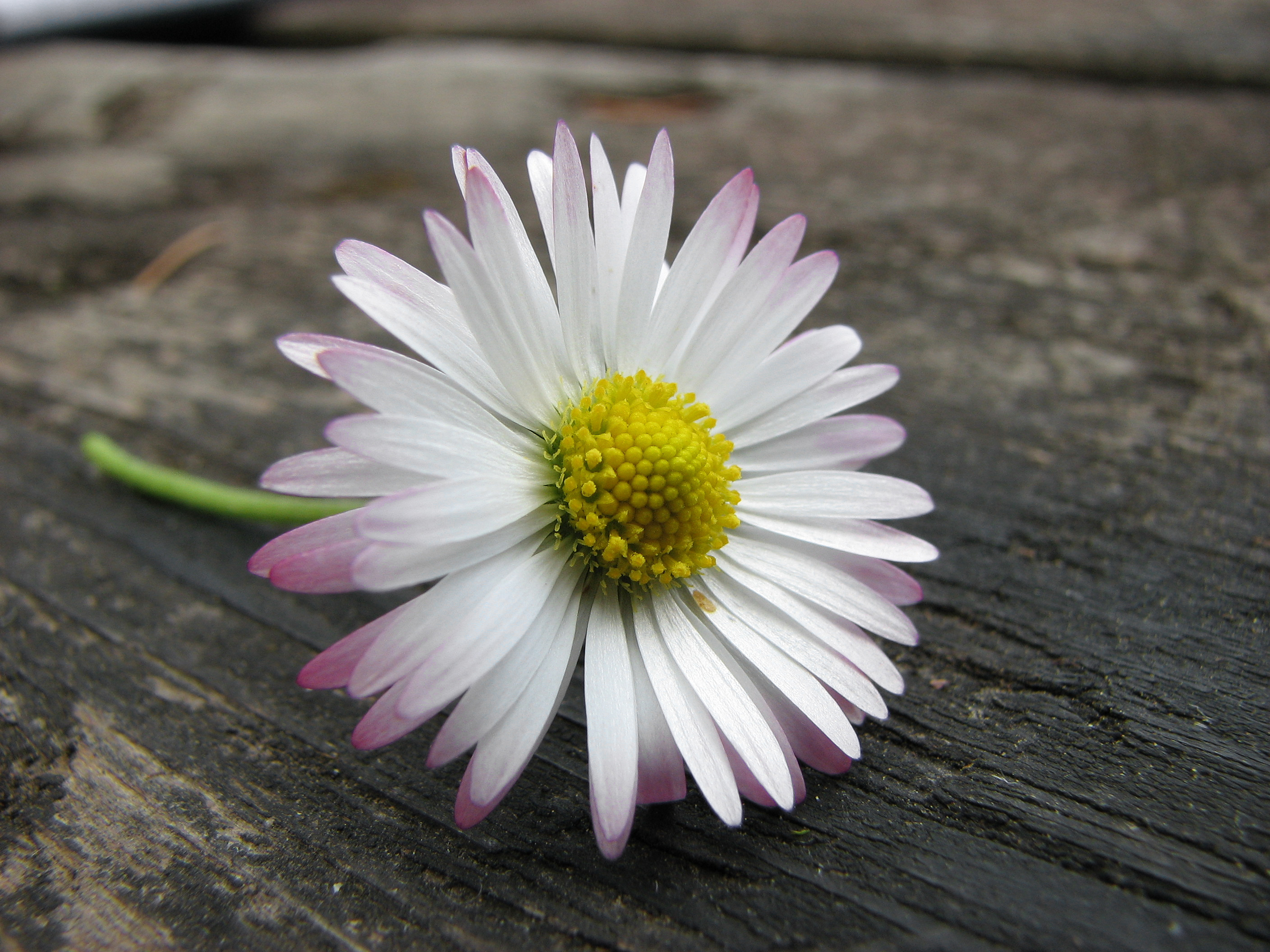 File:Pink twinged daisy on table edit.jpg