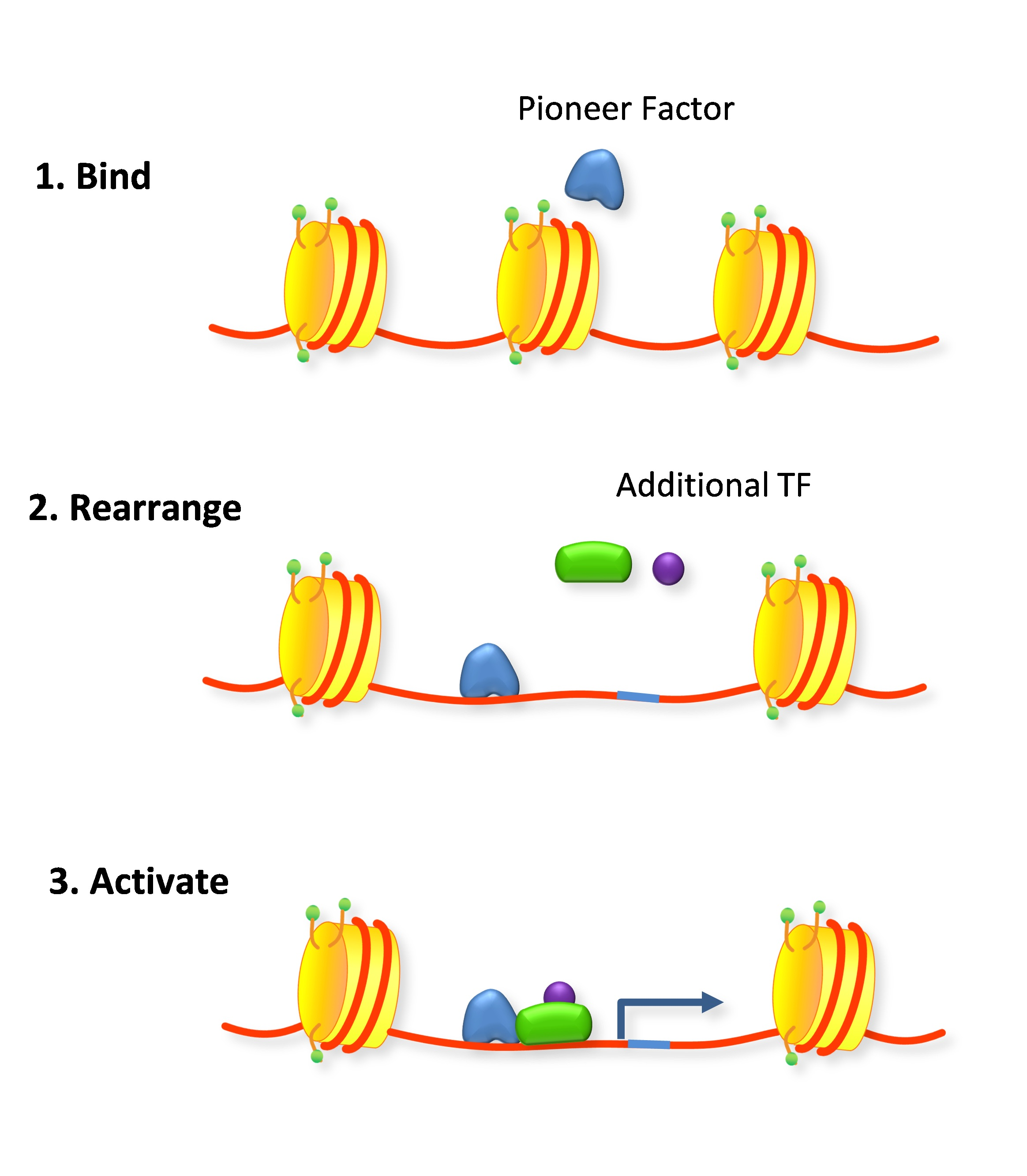 Remodeling Software File Pioneer Factor Rearrange The Nucleosome Jpg