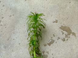 Grundnessel (Hydrilla verticillata)
