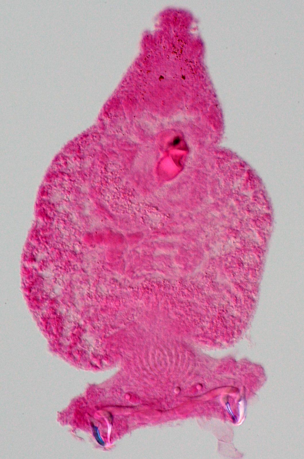 filo platyhelminthes classe monogenea