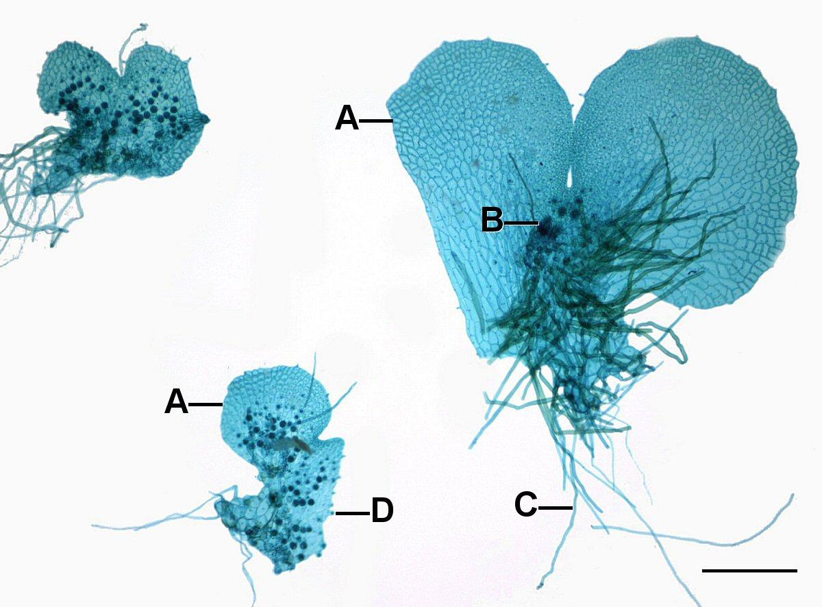 file pter1025 fern gametophytes l     wikimedia commons