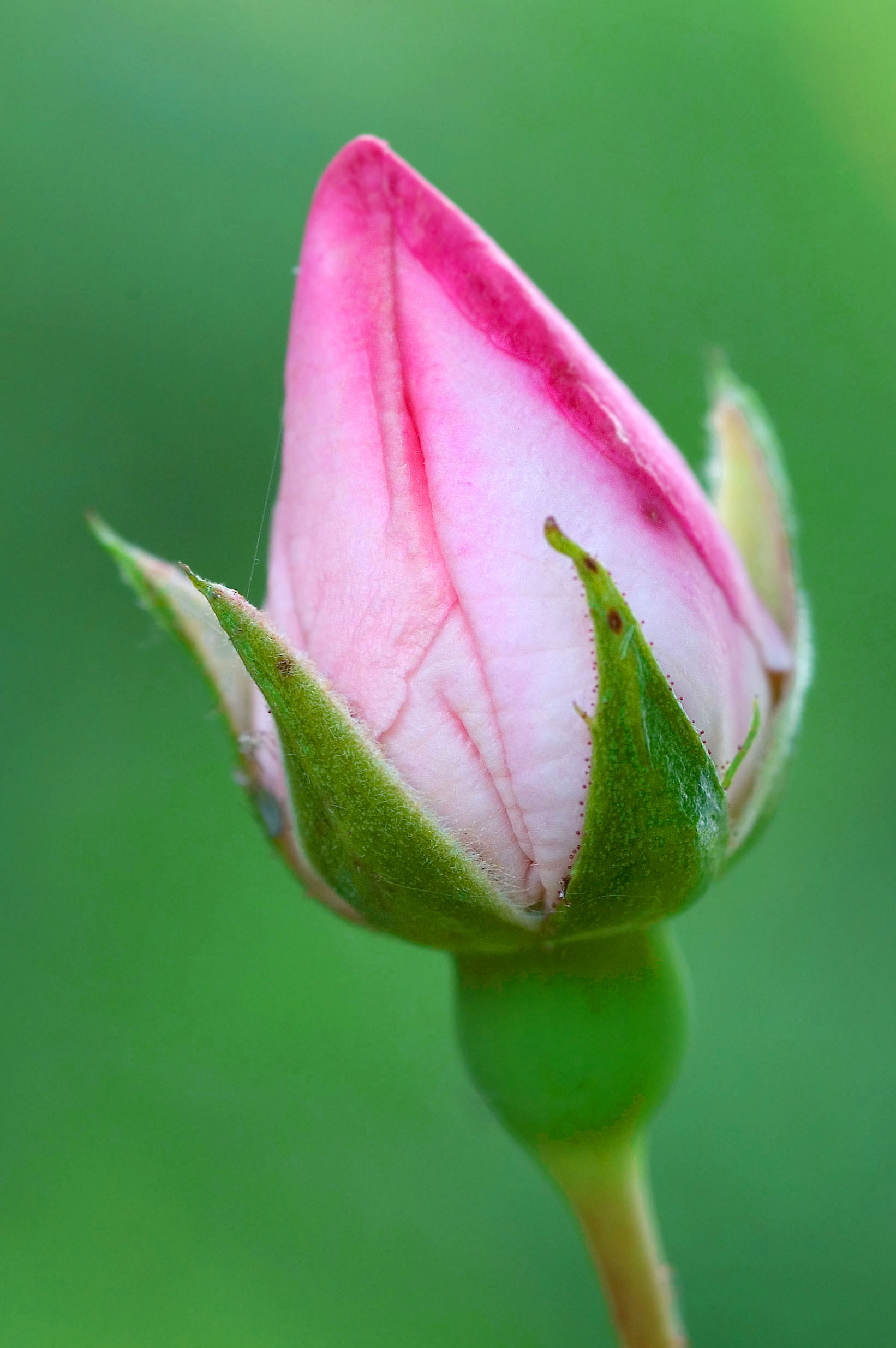 File Rose Bud Jpg Wikimedia Commons