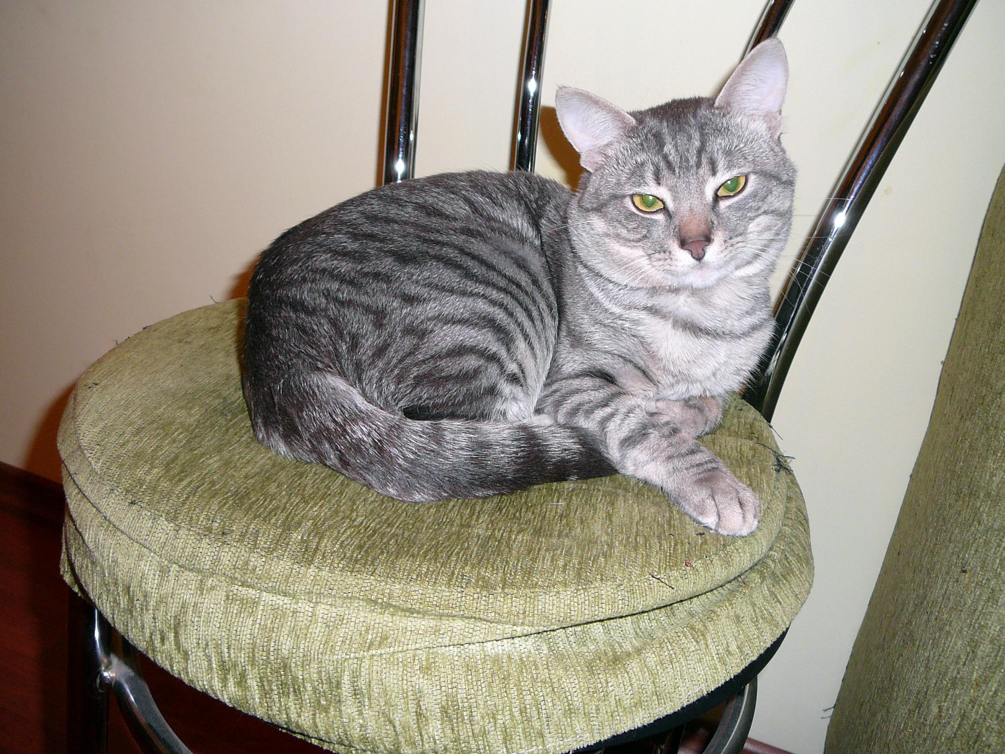 file silver tabby cats e1 jpg wikimedia commons