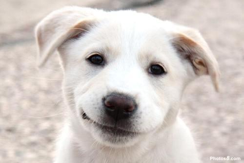 labrador-perro