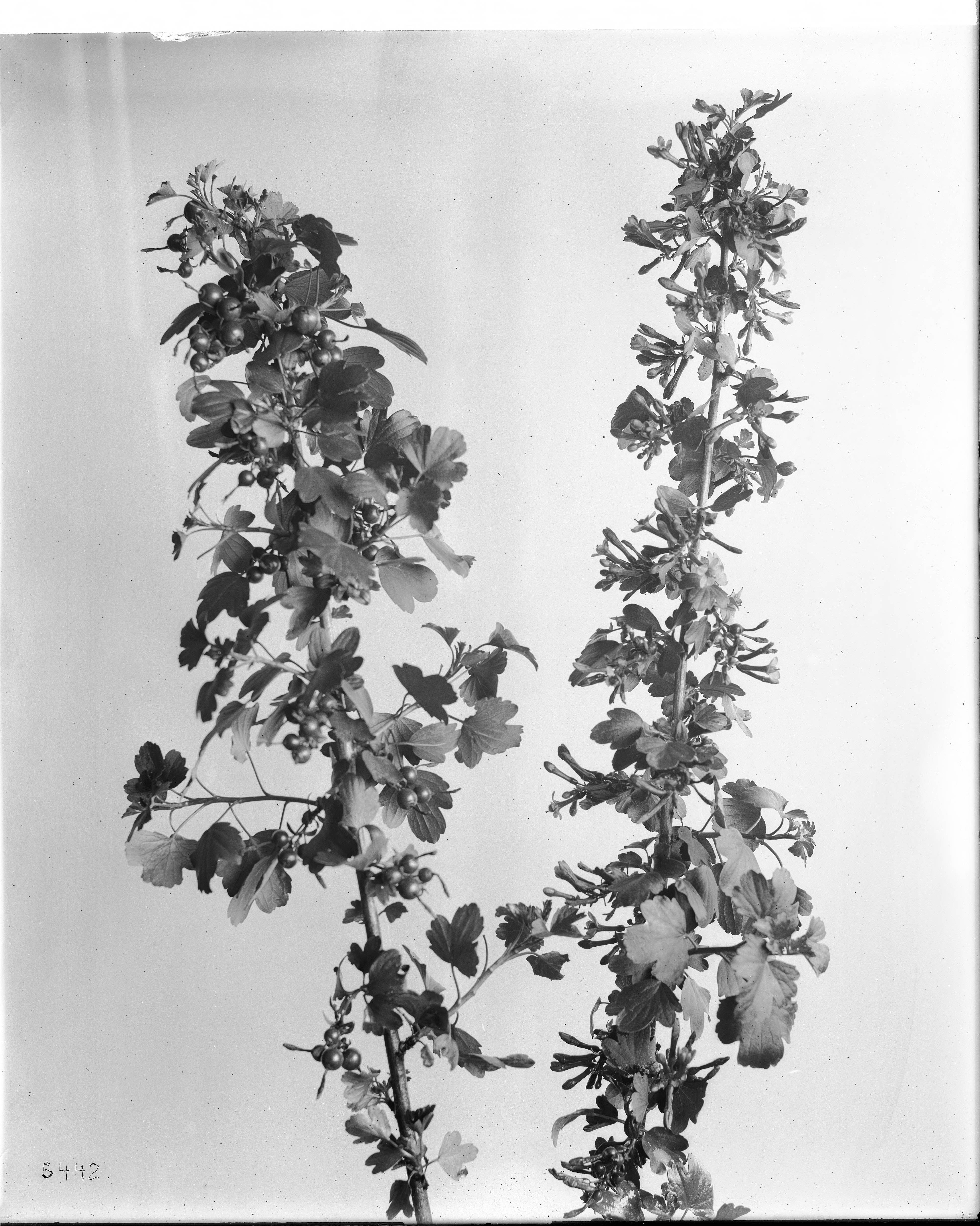 Filespecimen Of Yellow Flowering Currant A Wild Flower Ca1920