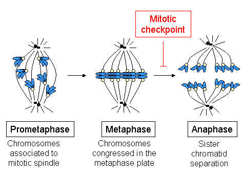 Scheme showing cell cycle progression between prometaphase and anaphase. (Chromosomes are in blue and kinetochores in light yellow).