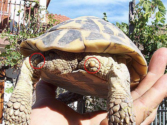 File testudo hermanni con wikimedia commons for Tutto per le tartarughe