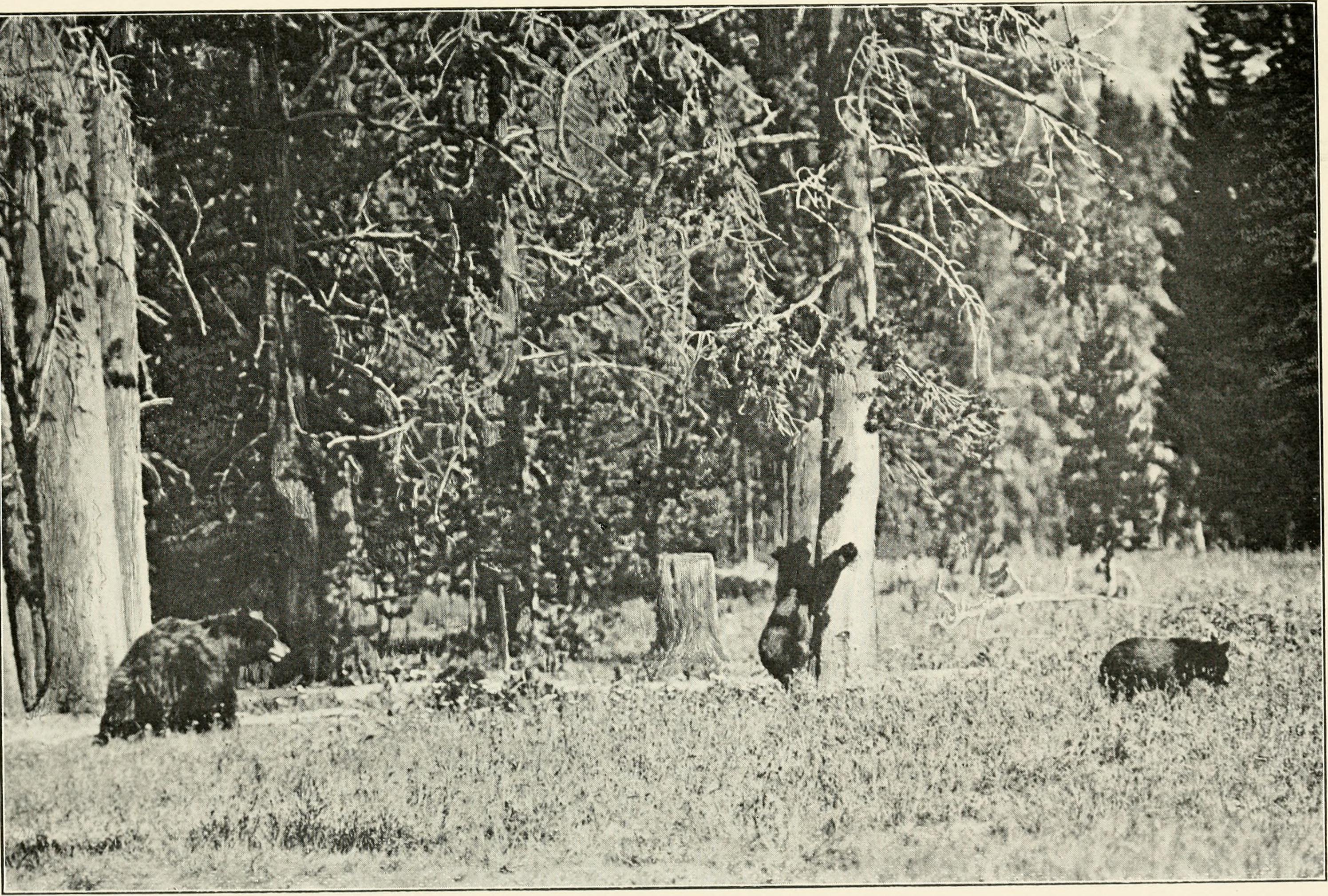 """Résultat de recherche d'images pour """"bear 1910"""""""